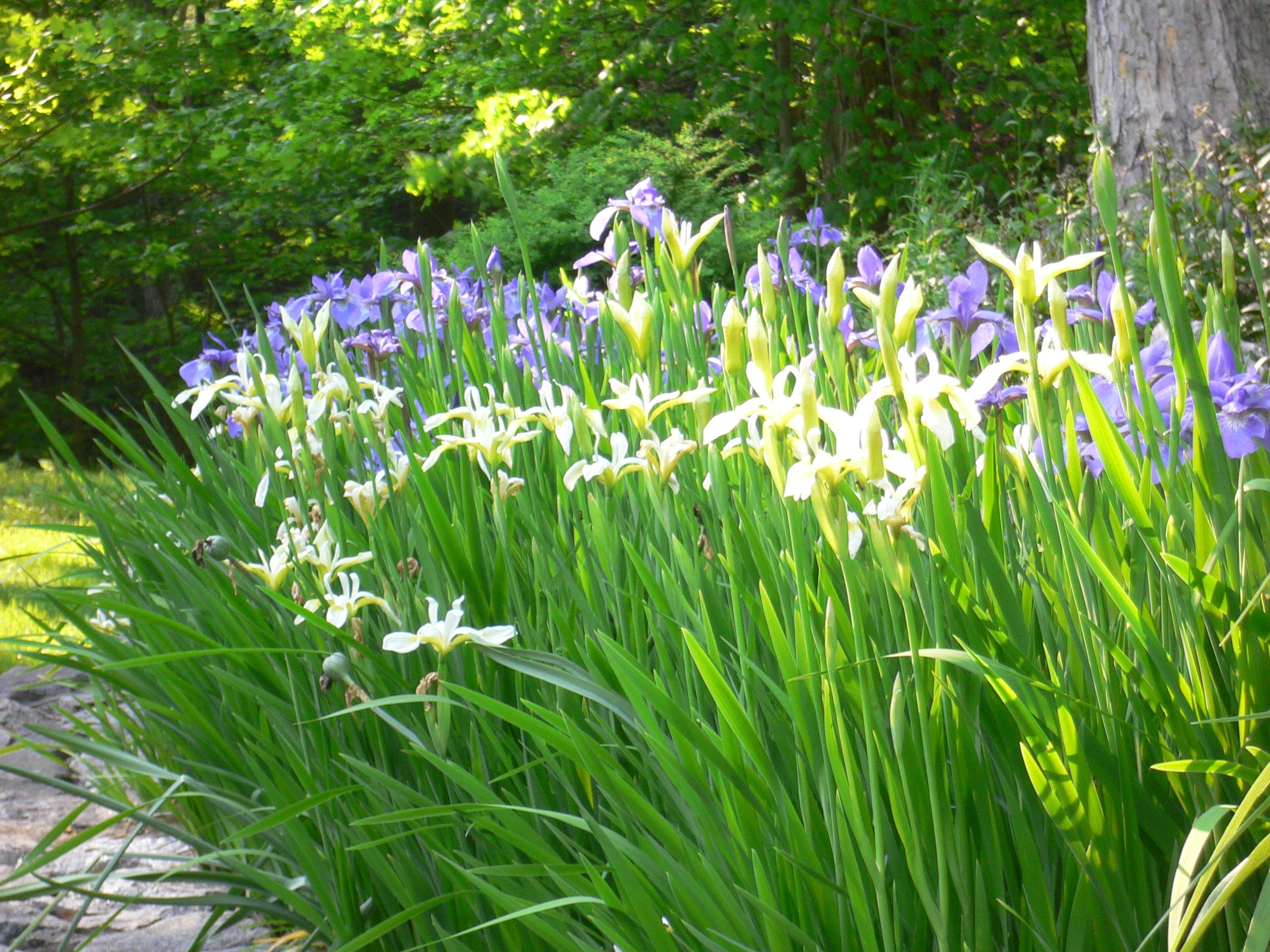 Siberian irises garden engineer why izmirmasajfo